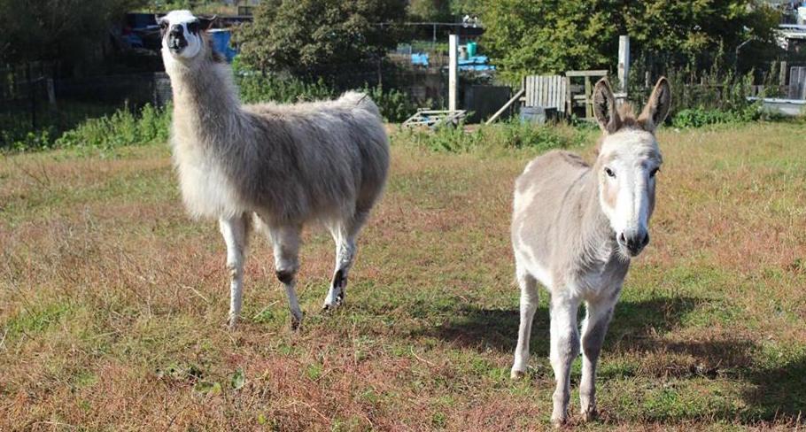 NB llamas