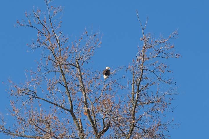 bald-eagle-web