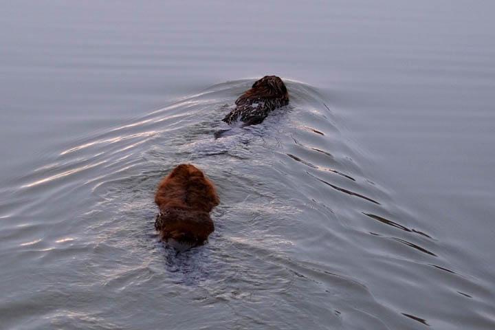 beavers-web