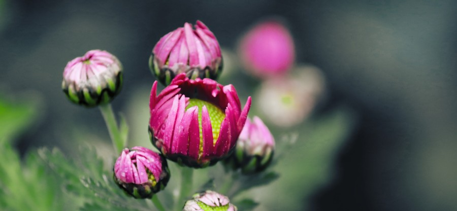chrysanthemums-gc32496eba_1920 (1)