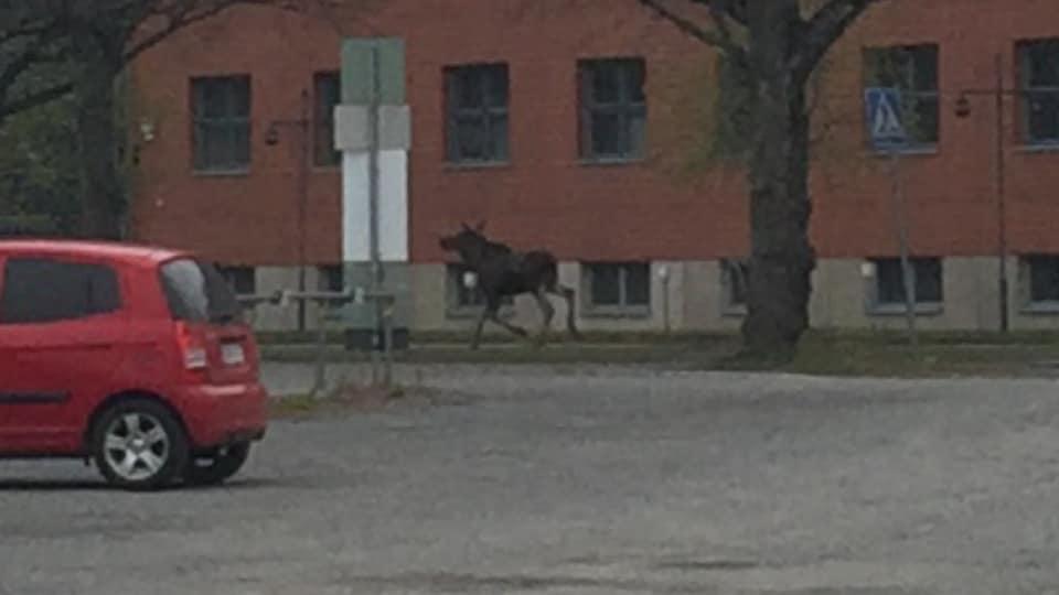 Tampere moose