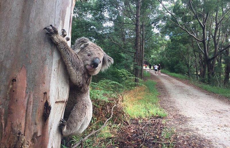Koonwarra_koala