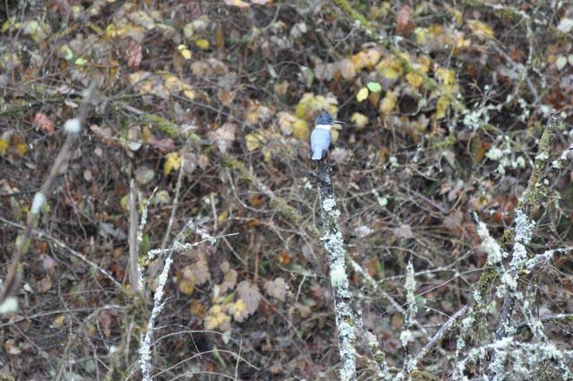 kingfisher_renton_web