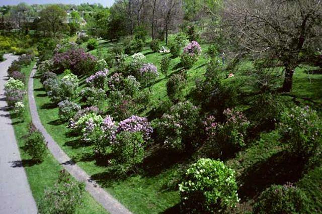 Arboreteum lilacs 640 inc