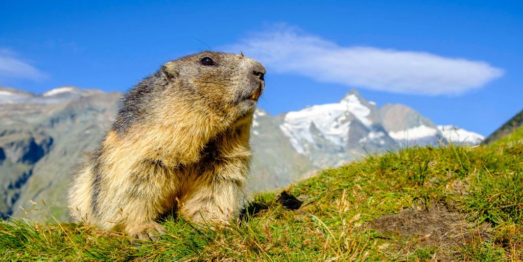 an-alpine-marmot-is-sitting-on-a-mountain-slope-the-news-photo-854968198-1548716211